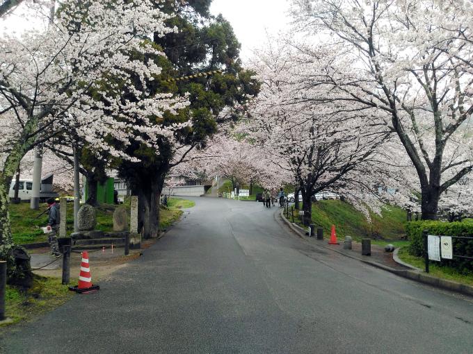 雨にけぶる府中公園の桜