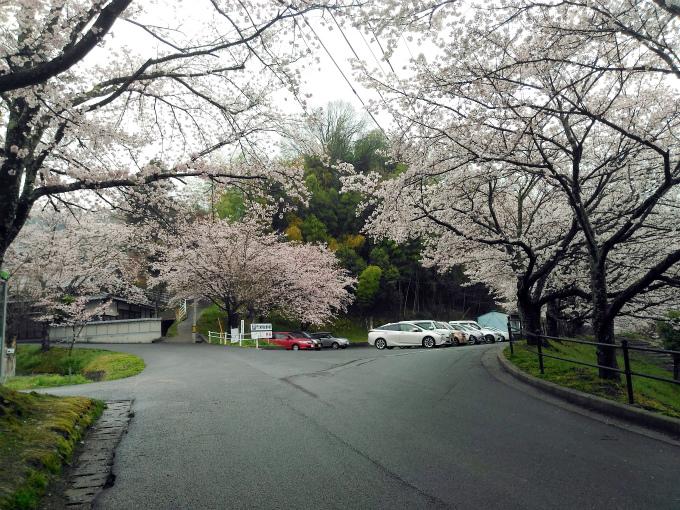 雨にけぶる府中公園の桜、駐車場