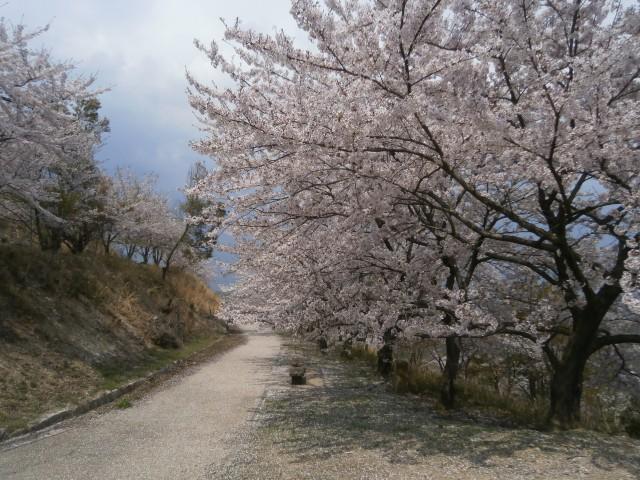 経ヶ丸グリーンパークの桜