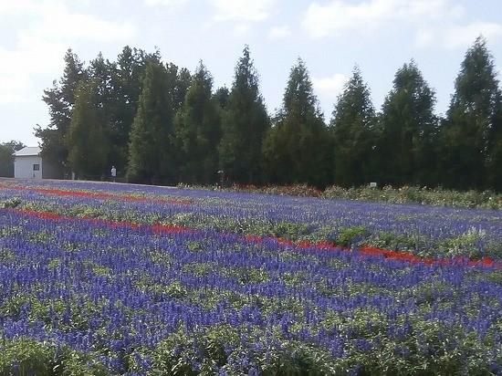 世羅高原農場のブルーサルビア畑